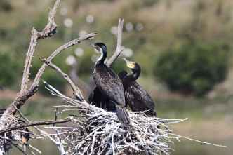 selective focus photography of three cormorants perched on nest